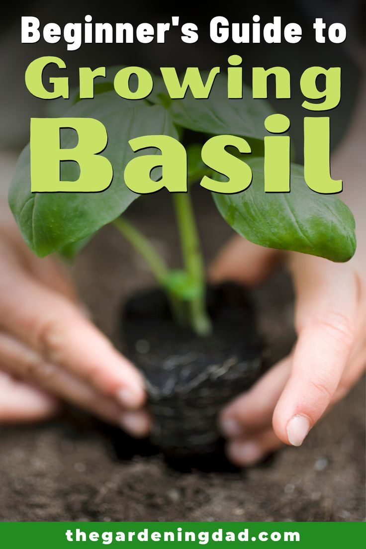 how to grow basil from seeds at home