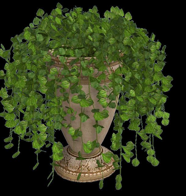 Swedish Ivy Cat Friendly Plants