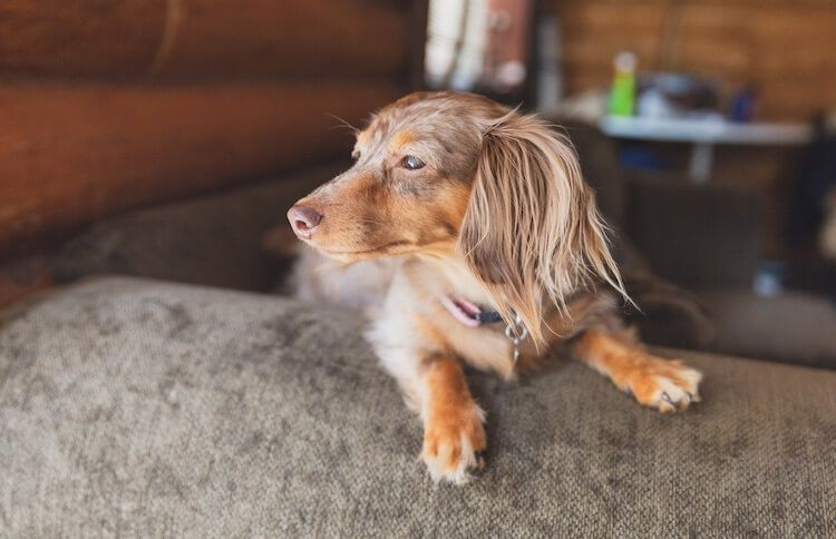 Dapple Dachshund The Ultimate Dapple Doxie Dog Breed Guide