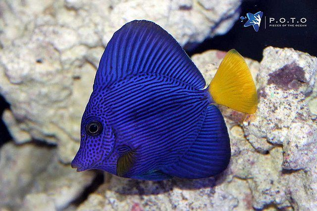 Few Fish Are As Vibrant Purple As The Zebrasoma Xanthurum Commonly Called The Purple Tang They Come From The Red Sea And A Deep Sea Animals Sea Fish Tang Fish