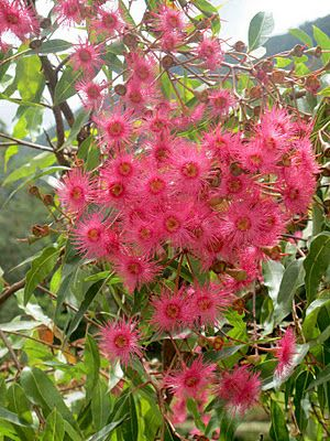 Flowering gum bright pink flowers pinterest flowers flora and flowering gum mightylinksfo