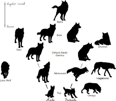 hierarchy of a wolf pack  note the only genderspecific