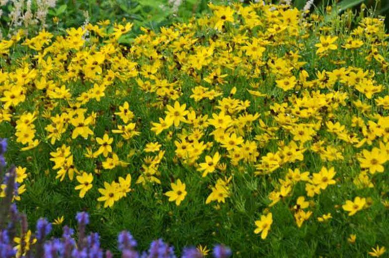 My Garden Coreopsis Verticillata Zagreb Threadleaf Coreopsis Tickseed Tickseed Heat Tolerant Plants Buy Plants