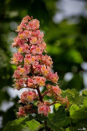Flowering chestnut tree pink mightylinksfo
