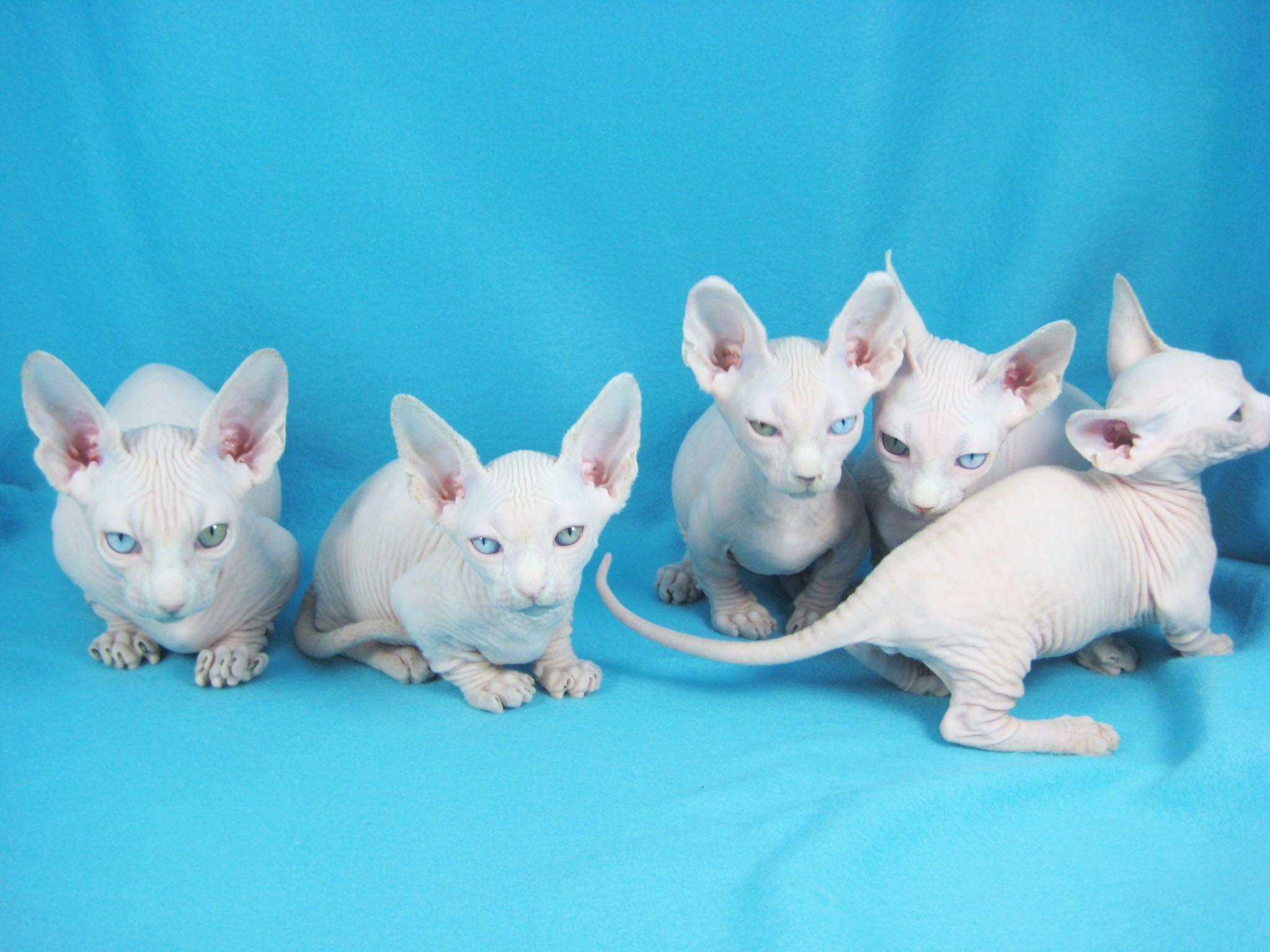 Odd Eyed Bambinos Rare Expensive Adorable Bambino Cat Baby Cats Pretty Cats