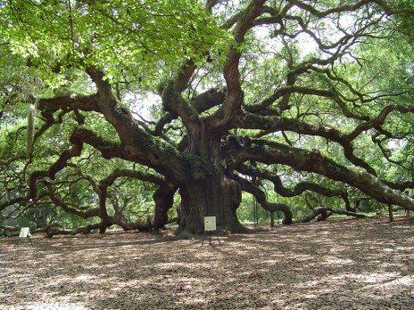 The Angel Oak, John's Island, SC