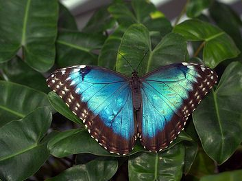 Morpho Butterflies Conservation • Tropical Rainforest Animals ...