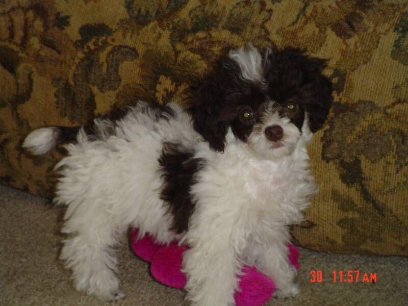 Toy Poodle Poodle Parti Pups Tiny Toy Poodles For Sale 803