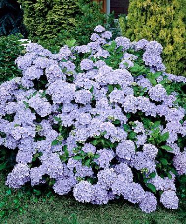 Denna Unika Hortensia Blommar Vackert Med Fantastiska Ljusbla Blommor Och Blir Ett Riktigt Blickf Shade Garden Plants Flower Garden Plans Hydrangea Varieties