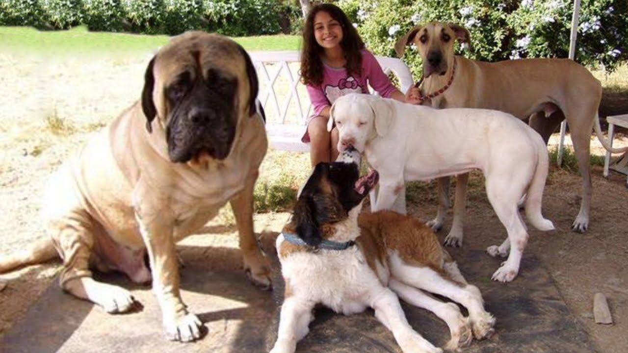 World S 10 Most Playful Dog Breeds English Mastiff Puppies Mastiff Puppies English Mastiff