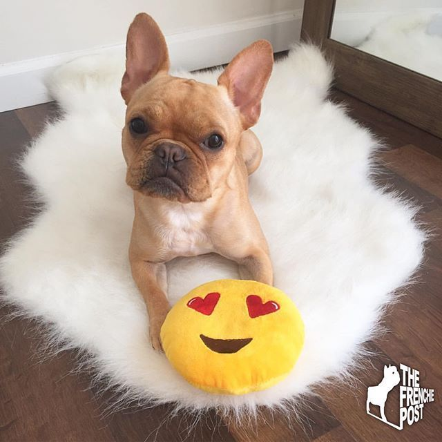 Lefrenchieface The French Bulldog Puppy On Instagram Cute French Bulldog Buy French Bulldog French Bulldog