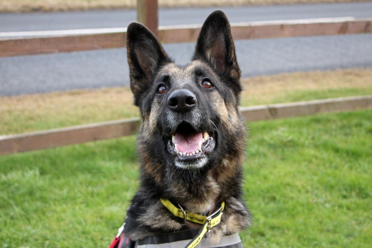 Adopt a dog sasha german shepherd dog gsd alsatian