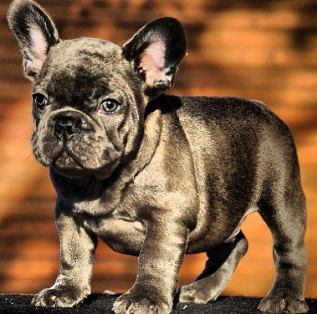 Bonsai Kennels French Bulldog Puppy Wowww French Bulldog
