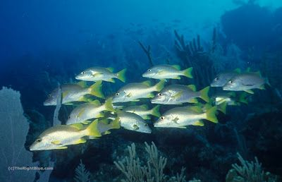 Schoolmaster Snappers (Lutjanus apodus), Cayman Islands ~ photo by B N Sullivan for TheRightBlue.com