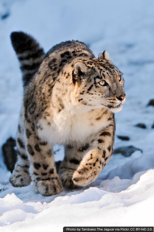 Snow Leopards Rainforest Trust Animals Beautiful Snow Leopard