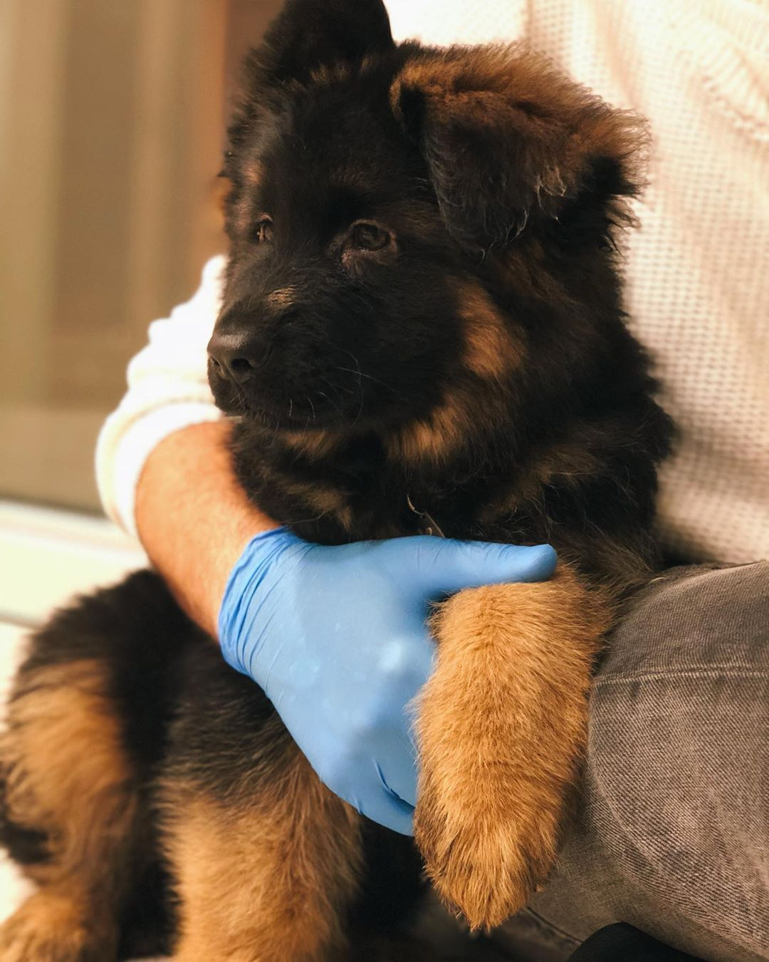 Puppythrowback Ill Be 1 Next Week Longhairedgsdpuppy