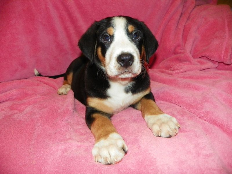 Greater Swiss Mountain Dog Look At Those Paws Greater Swiss