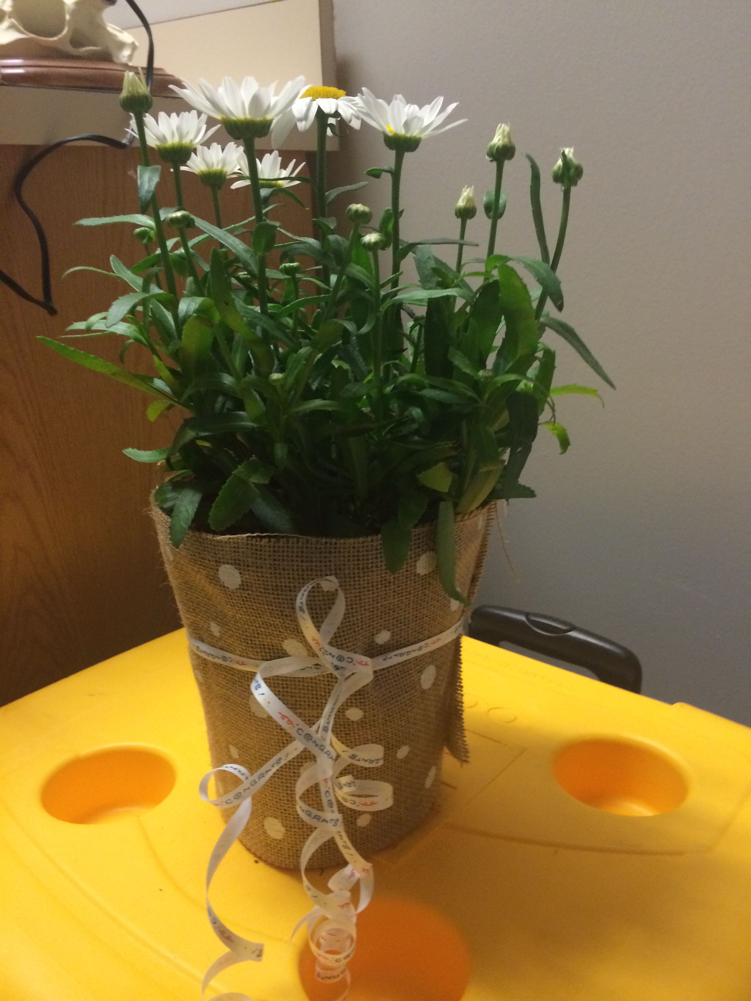 My center piece from daughters grad party. Daisy plant wrapped in white polka dot burlap and ribbon