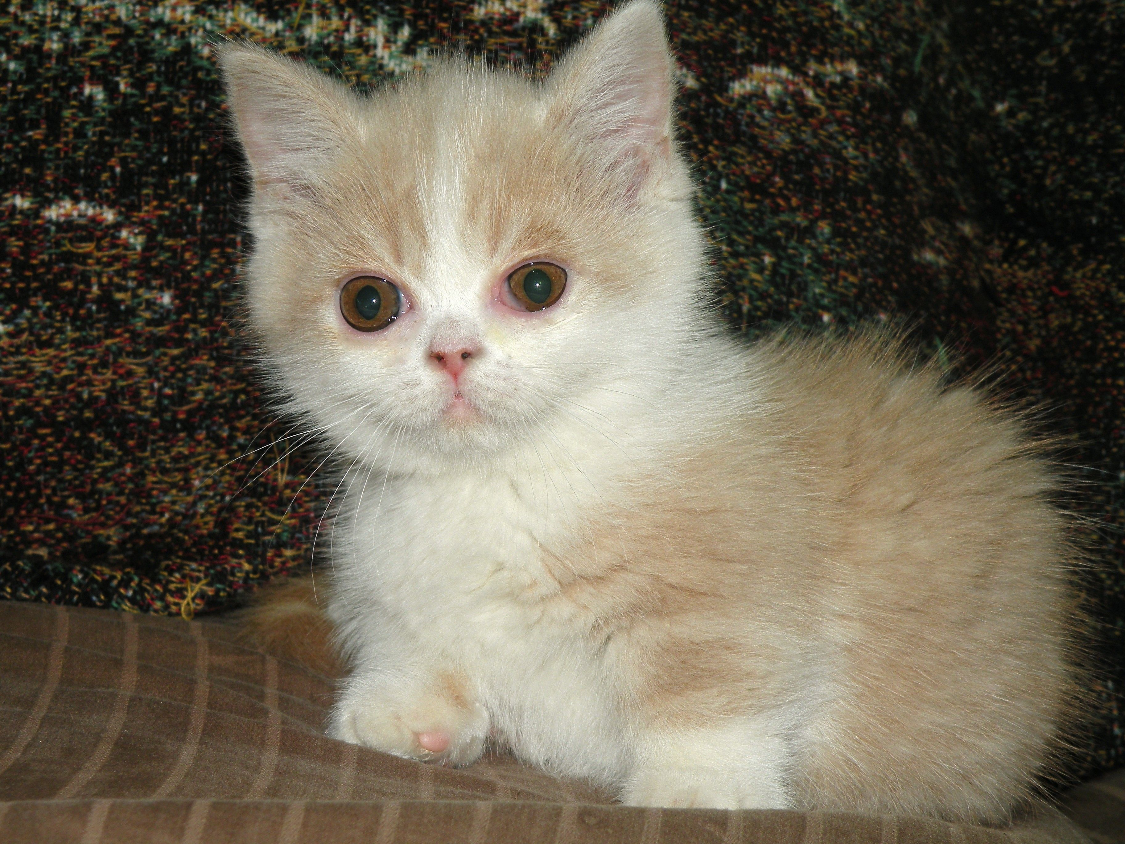 Munchkin Kitten Solomon Is Looking For A New Home Utd On Shots And Wormed Housebroken And Use To Older Children And D Cute Cats Dogs And Kids Munchkin Kitten
