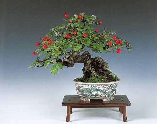 Crataegus Bonsai Cerca Con Google Bonsai Art Bonsai Flower Bonsai
