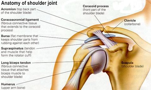 Image Result For Shoulder Joint Anatomy Shoulder Joint Anatomy