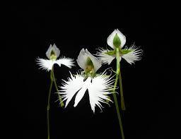 anguola uniflora - Google-søgning