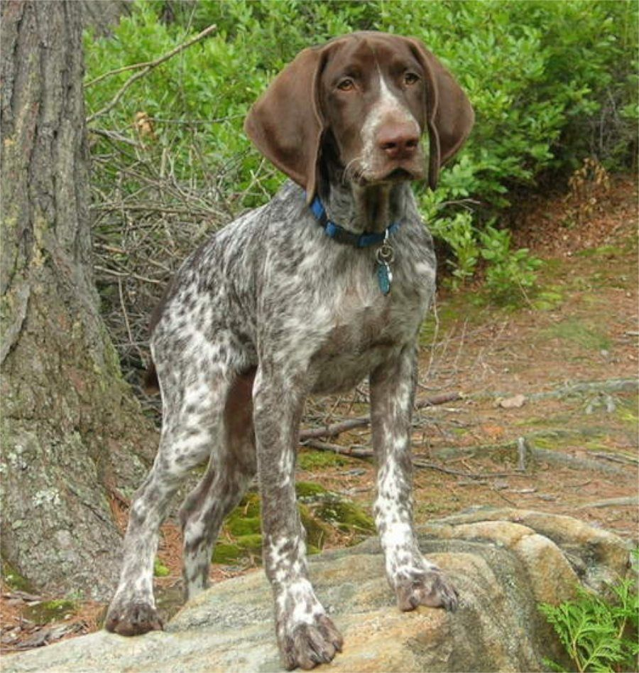 German Shorthaired Pointer German Shorthaired Pointer English
