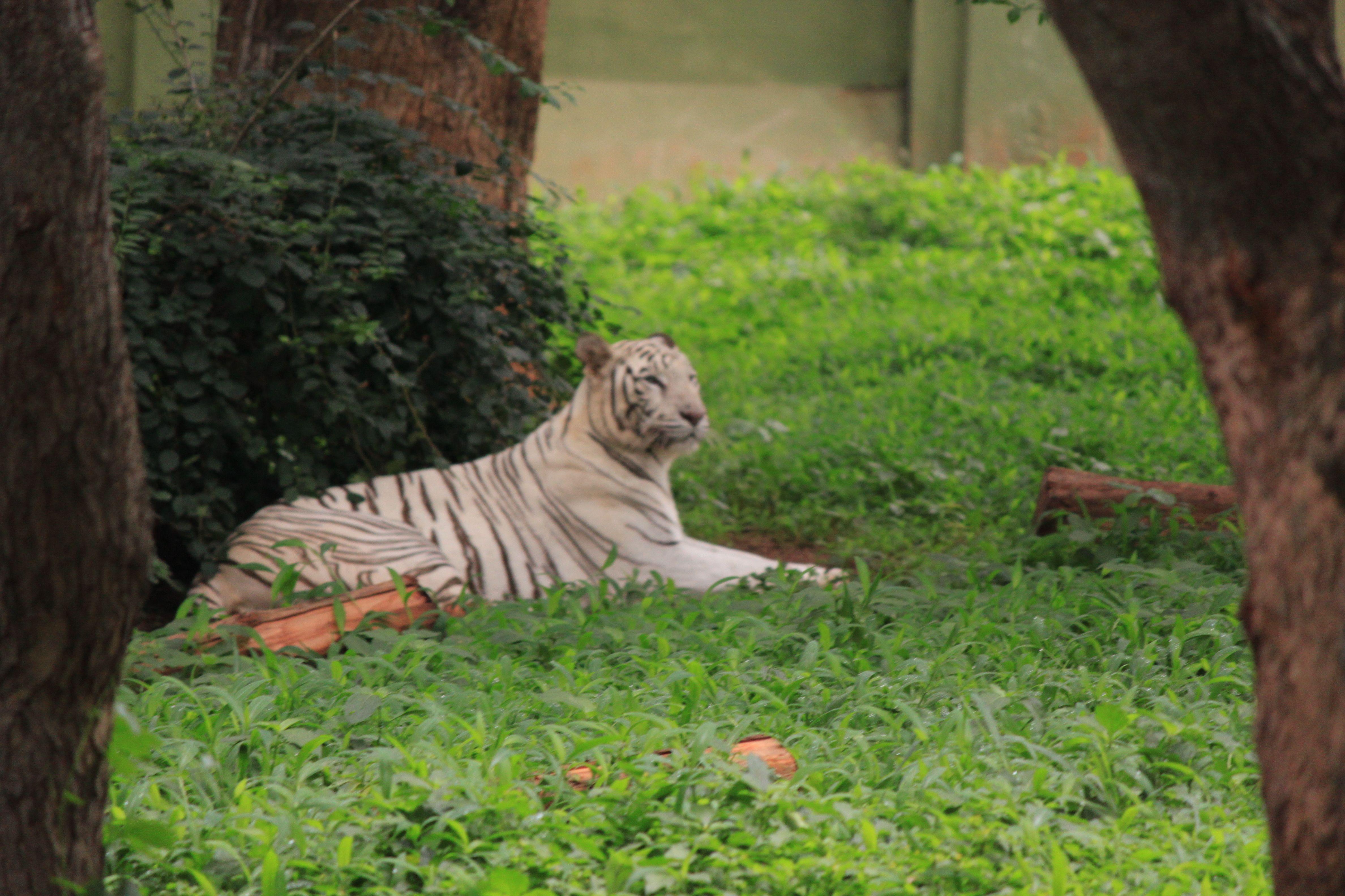 White Tiger At Mysore Zoo Mysore Zoo Zoo Animal Pictures