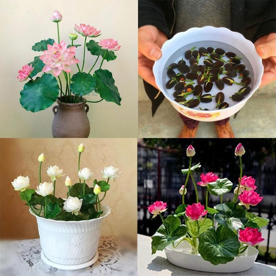 Real Lotus Flower Seeds Bonsai Set (5 Lotus Seeds Per Set) - Grow Your Own Buddha Lotus Flowers #lotusflower