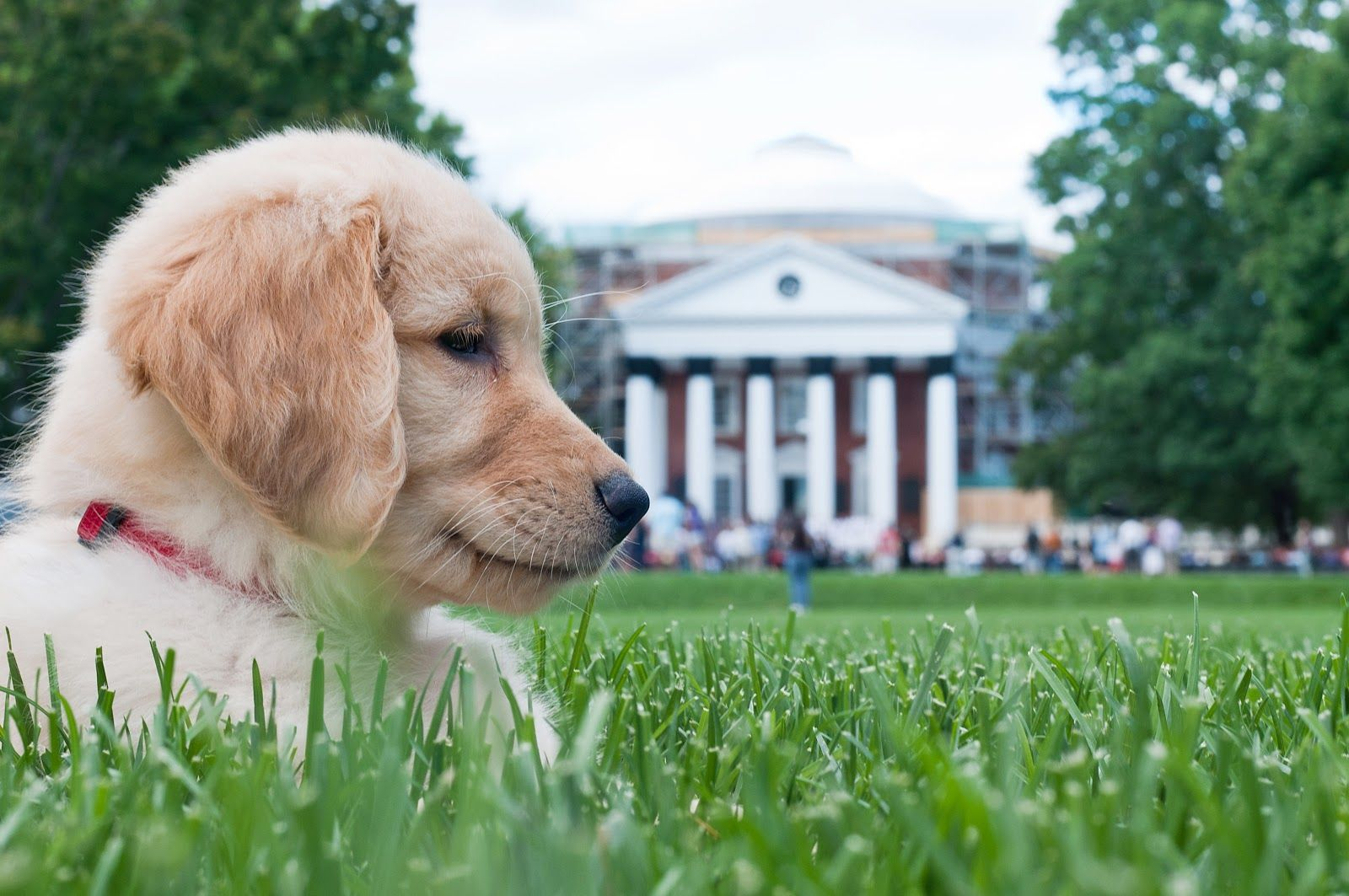 Golden Retriever Puppy At The University Of Virginia 28 Weeks Of