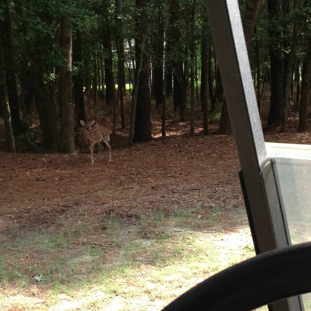 Deer on the golf course