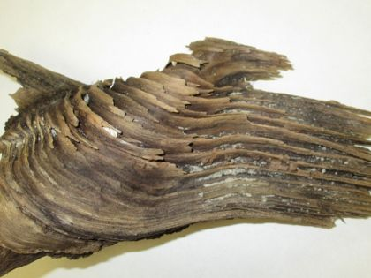 This slowly decaying piece of wood from a dead eastern redcedar (Juniperus virginiana) shows the typical socket of overlapping wood tissues that creates a strong union between trunk and branch. The branch's point of origin from the trunk would be to the bottom left of the photo.  Contributed photo