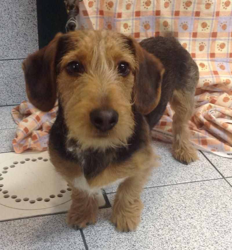 Dachshund Yorkshire Terrier Yorkie Mix • Baby • Male