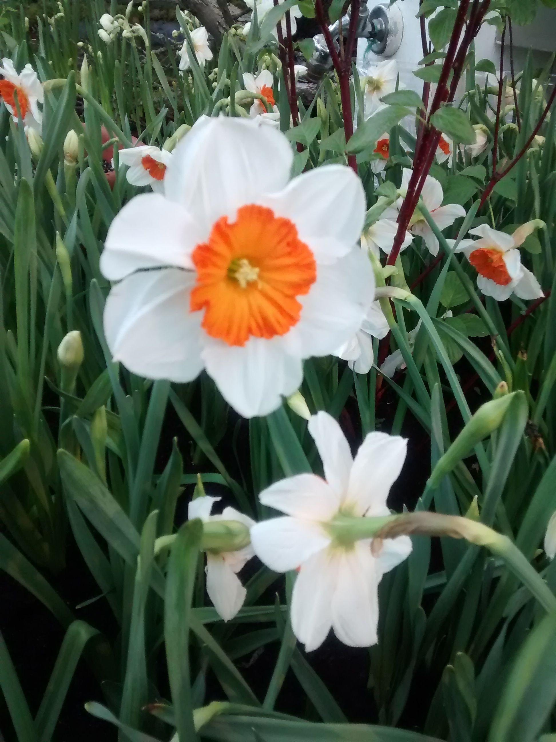 Narzisse. Blume. Weiß. Frühling