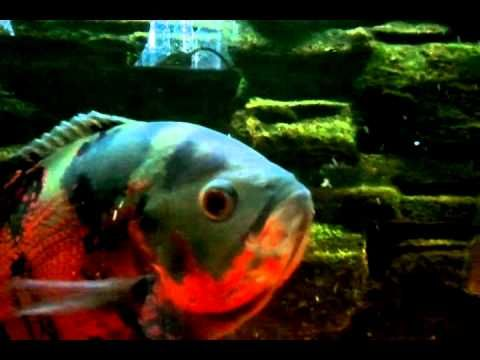 Oscar Fish Eating Other Fish The Boss Of The Tank Youtube Tiger