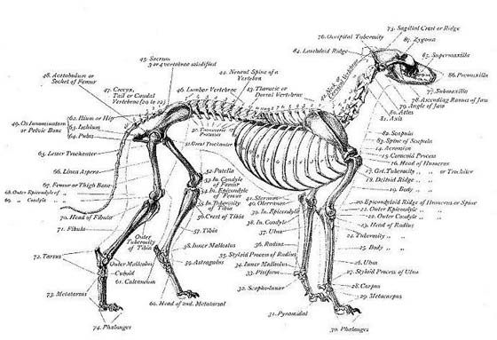 squirrel skeleton diagram the skeleton of a greyhound