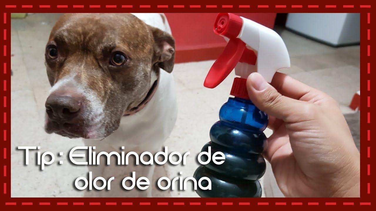Tip eliminador de olor de orina para perro o gato youtube lucas pinterest perros perro - Quitar olor a pis de gato ...