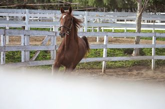 American Saddlebred horses are the best!