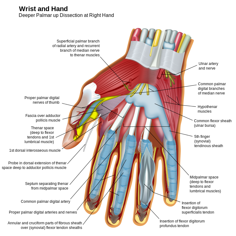 Wrist and Hand Anatomy Deep palmar up dissection at right hand. http ...