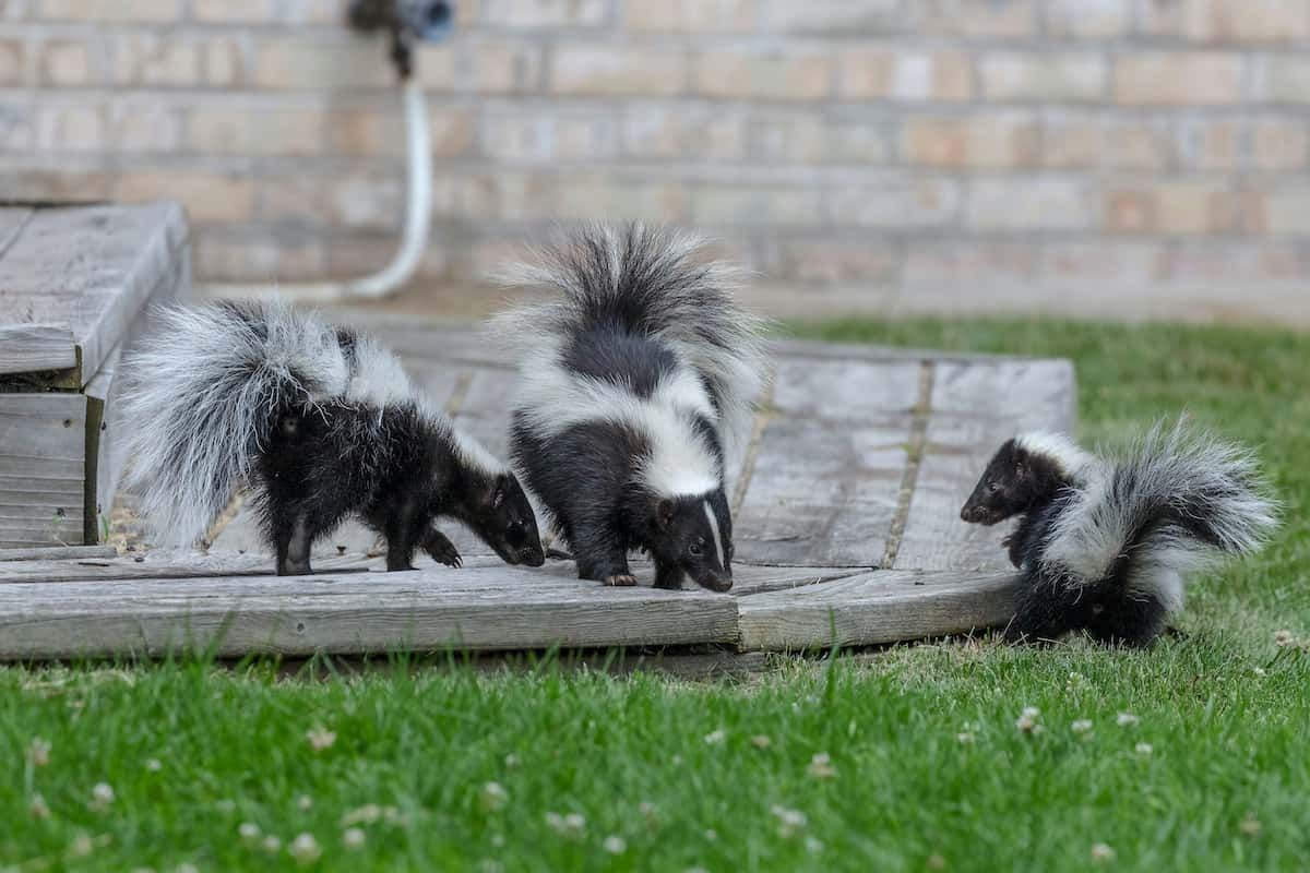 How to Deal and Get Rid of Skunks in Your Garden Humanely ...