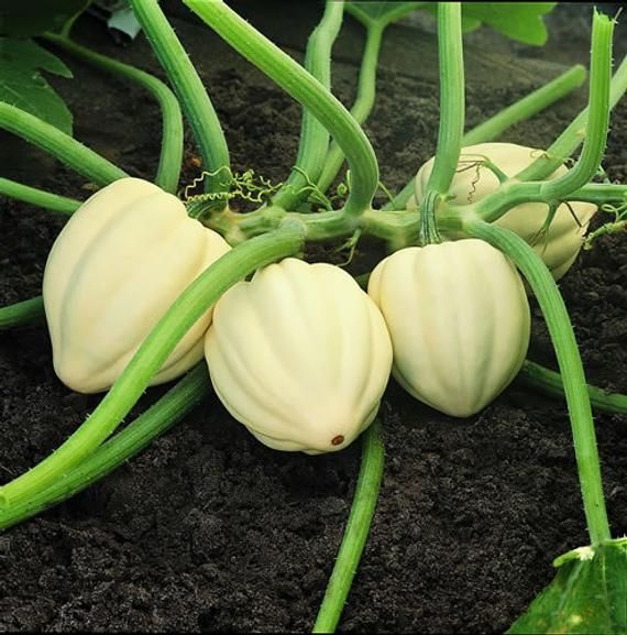 Vsqwa Cream Of The Crop Acorn Squash Seeds So 400 x 300