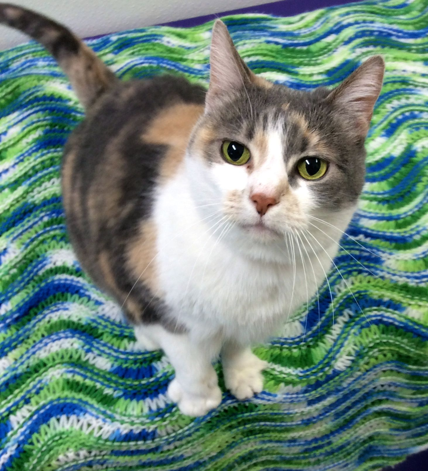 Kallie is just one of the beautiful cats up for adoption right now