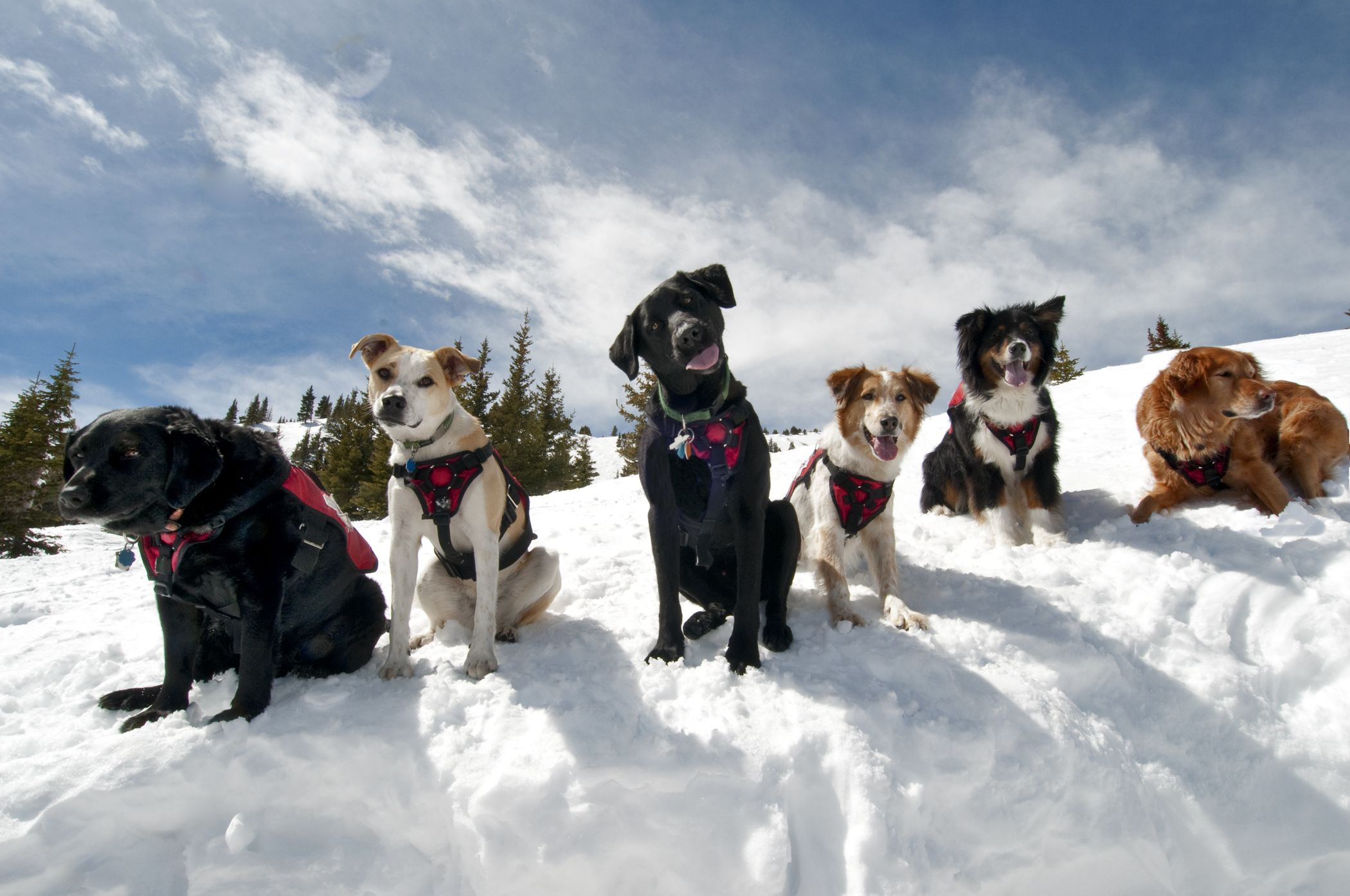 Curious ski patrol dogs at Breck. Search and rescue dogs