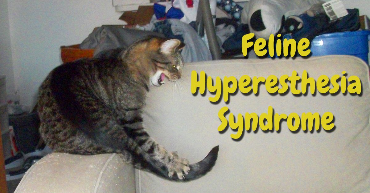 feline hyperesthesia syndrome cats
