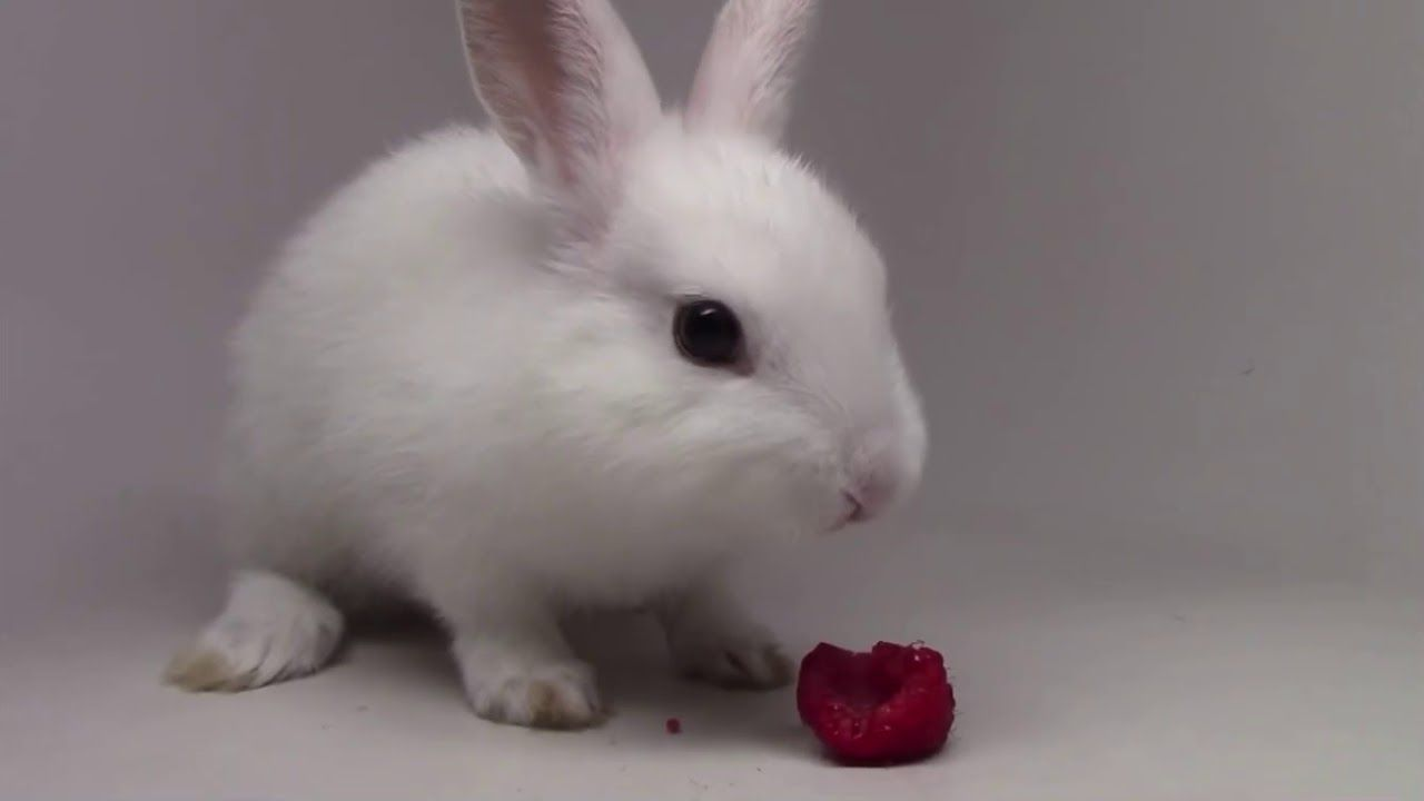 Pin By Rabbitvideos On Bunny Rabbit In 2020 Cute Baby Bunnies Rabbit Baby Baby Bunnies