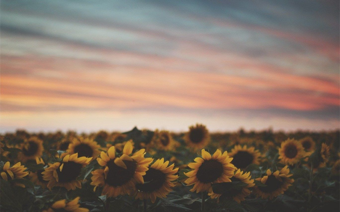 Tumblr Sunflower Wallpaper in Sunflower