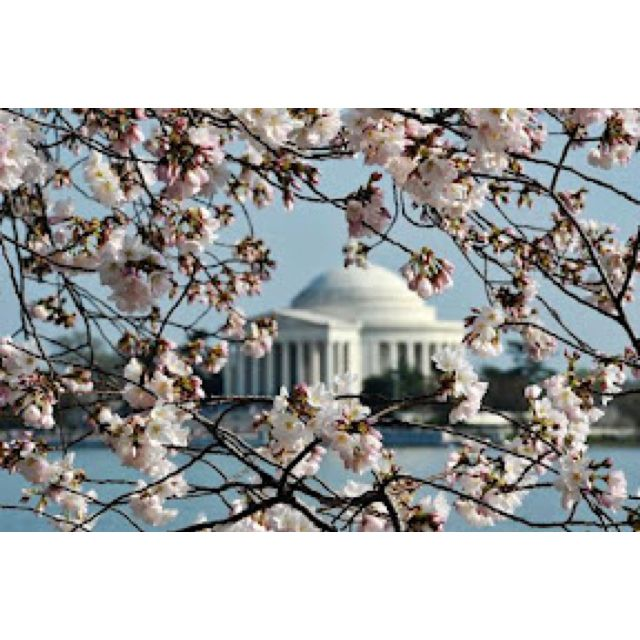 Cherry Blossoms On The National Mall Cherry Blossom Festival Best Places To Travel Japanese Cherry Tree