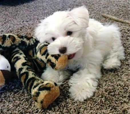 Texas T S Toy Schnauzers Past Pups Supercoated White Chocolate