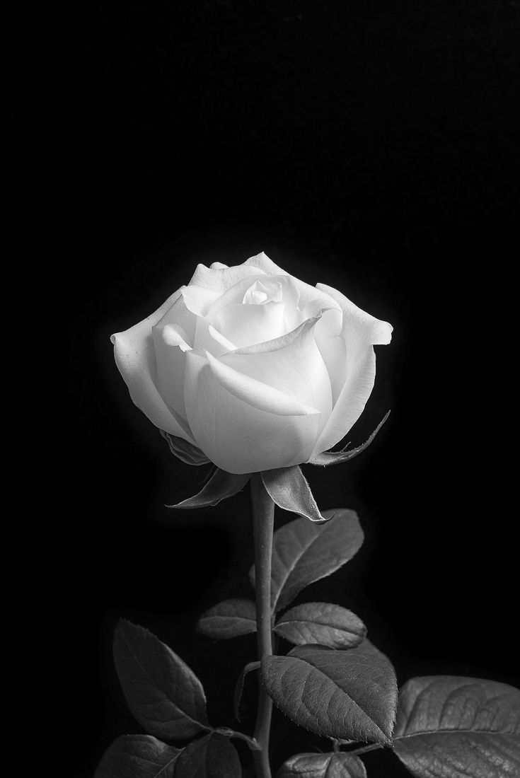 Monochromacity Photo Black And White Aesthetic Black And White Roses Black And White Flowers