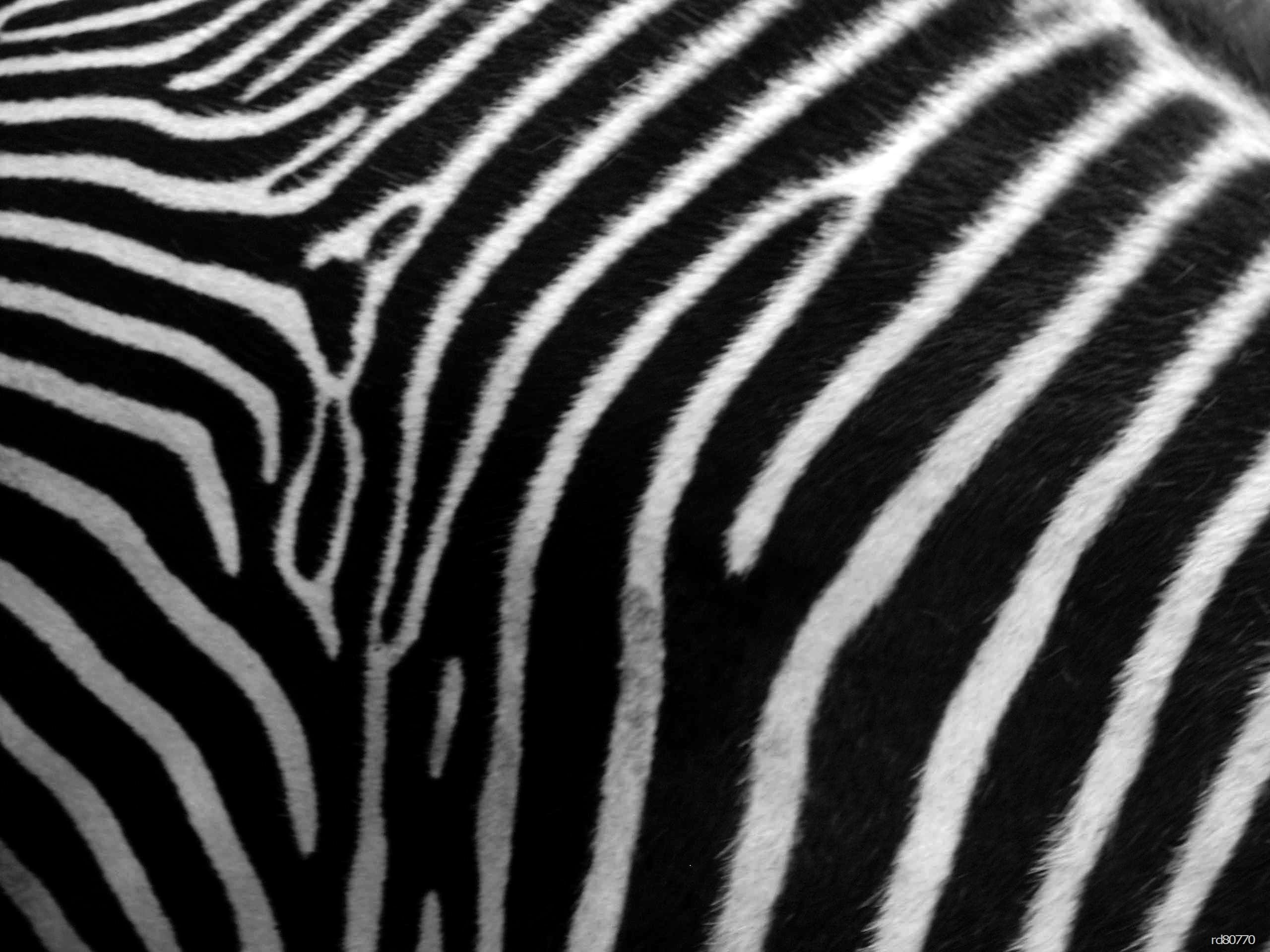 Zebra patterned wallpaper - Zebra Print Google